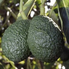 Image result for avocado testicales